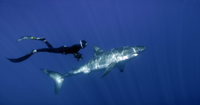 William Winram freediving with a Great White Shark in Isla Guadalupe, Mexico.Still by D.J. Roller