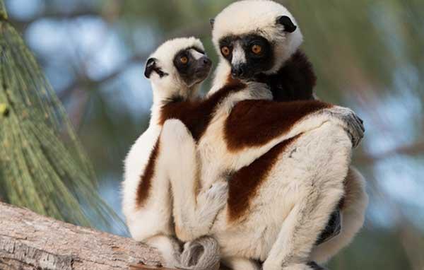 lemurs03