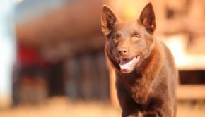 australian-movie-red-dog-data